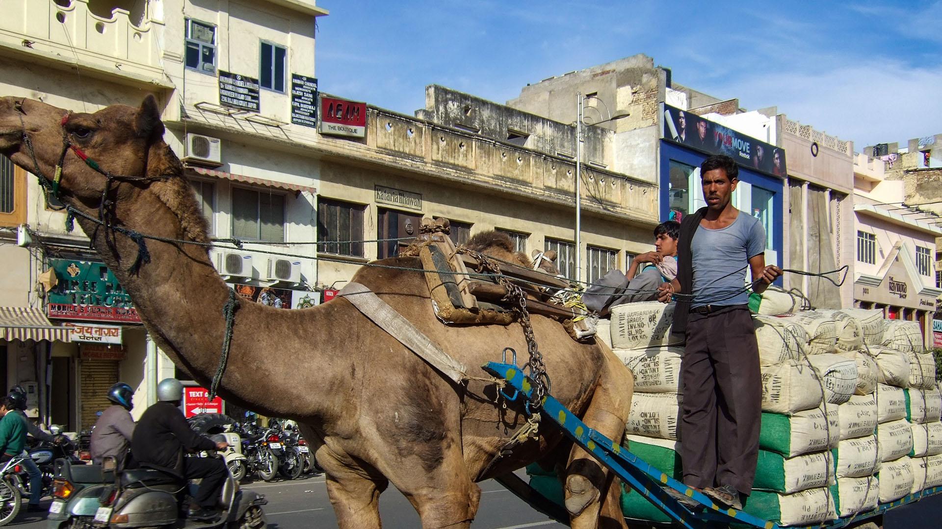 Jaipur'da bir deve arabası